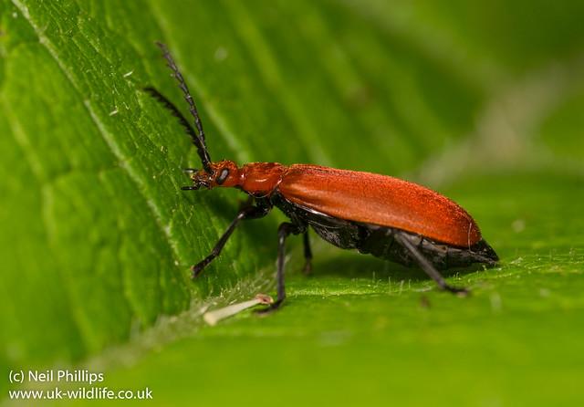 Cardinal beetle Pyrochroa serraticornis