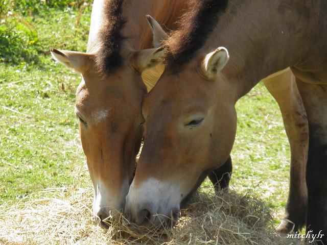 Przewalski's Horses 2