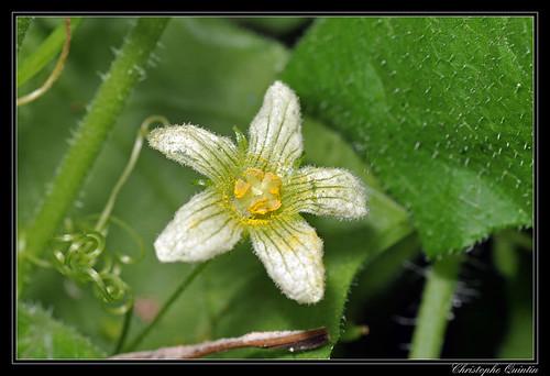 Bryone dioïque (Bryonia dioica)