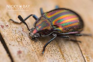 Darkling beetle (Ceropria sp.) - DSC_1407