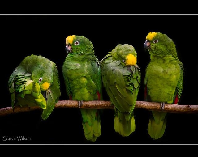 Yellow-crowned Amazon