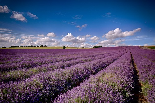 flowers photography lavender