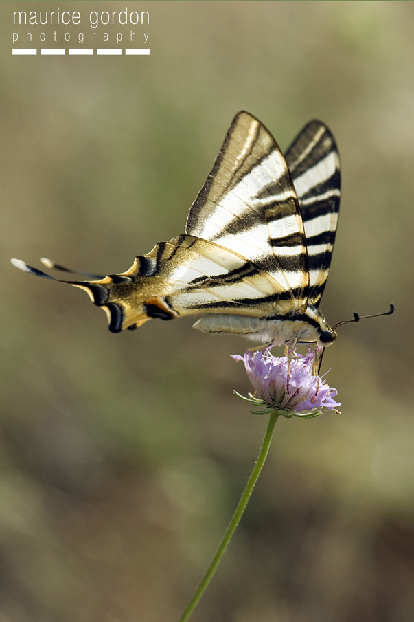 scarce swallowtail-ceret_DSC4741