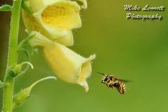 Bell Flower & Bee 2