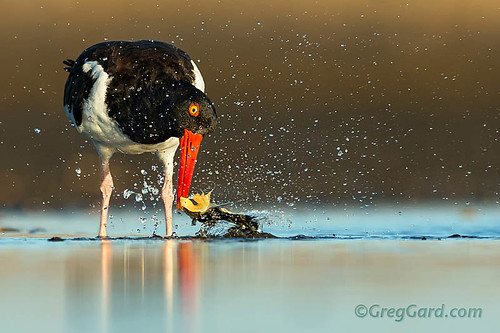 American Oystercatcher shaking clam out of the shell / water