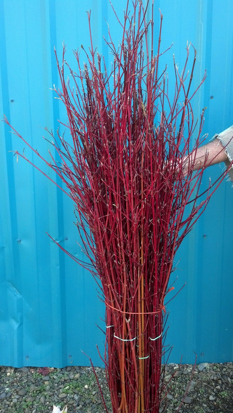 red twig dogwood hand stripped