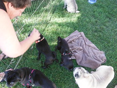 Sherburne Memorial Library posted a photo:	2013 GMPR Pug Social
