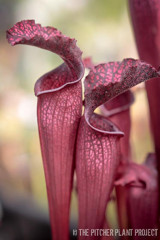 Sarracenia areolata x Danas Delight