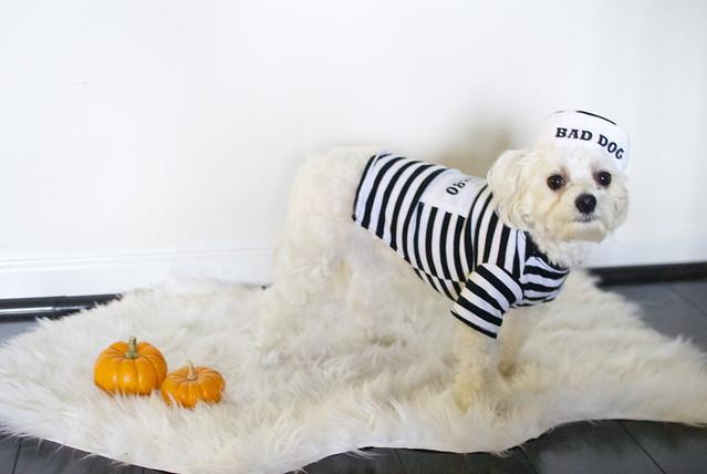 halloween dog costumes, dog photography, maltipoos, happy halloween