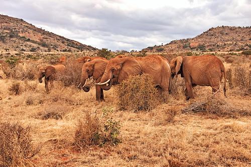 holiday elephant kenya east elefant kenia ost tsavo reise tsavoeast kenyaholiday tsavoost kenyaelephant keniaelefant