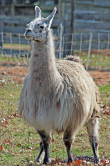 alpaca(0.0), vicuã±a(0.0), guanaco(0.0), wildlife(0.0), animal(1.0), llama(1.0), fauna(1.0), camel-like mammal(1.0),