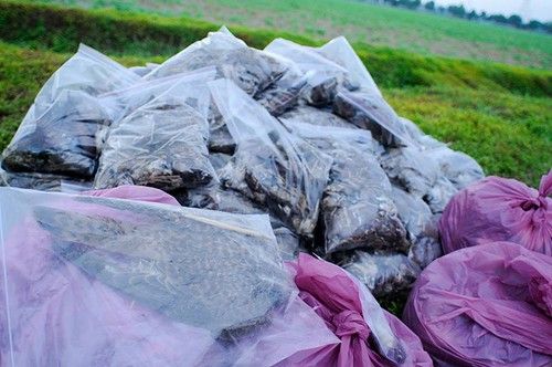 最多的是麻雀屍體,其次是紅鳩。圖片來源:屏科大野保所鳥類研究室