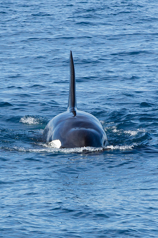 Killer Whale Sri Lanka 2013-11-25 (1)