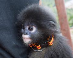 chimpanzee(0.0), western gorilla(0.0), great ape(0.0), gorilla(0.0), common chimpanzee(0.0), ape(0.0), animal(1.0), monkey(1.0), mammal(1.0), fauna(1.0), old world monkey(1.0), new world monkey(1.0), macaque(1.0),