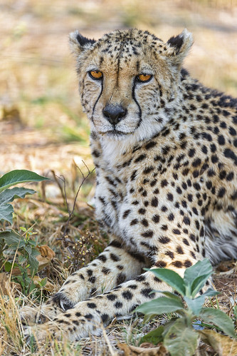 Cheetah and vegetation by Tambako the Jaguar