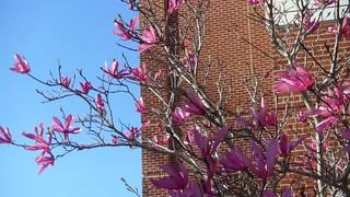 magnolia flower 7