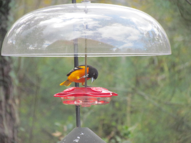 Oriole on Hummingbird Feeder 5:5:14