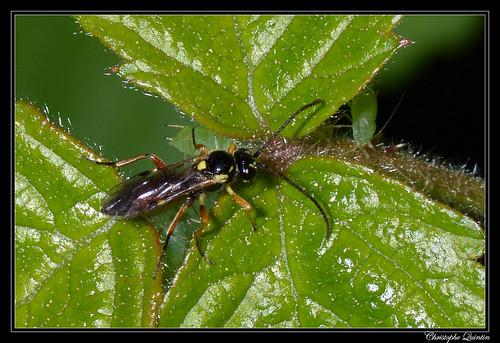 Ichneumonidae/Diplazontinae