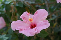 flower, plant, malvales, flora, chinese hibiscus, pink, petal,