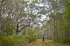 Looking for koalas in Crowdy Bay National Park.