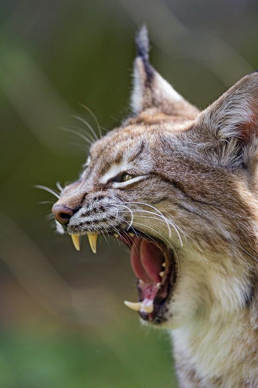 Profile of a yawning lynx