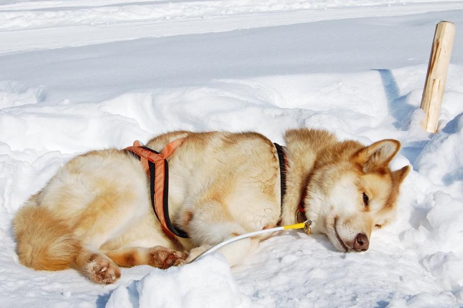 Balade chiens de traineau chiens de traineau (15)