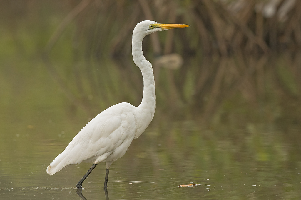 Great White Egret   Gambia