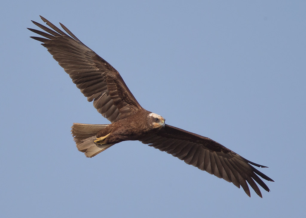 Marsh Harrier   Gambia
