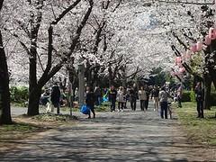 辰己の森桜 2012さくら2