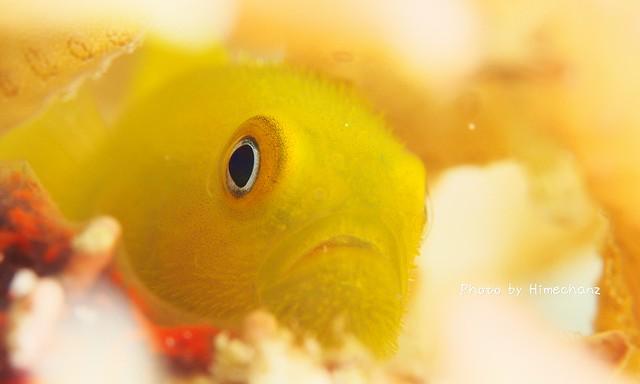 透明感のある黄色がステキ!アカネダルマハゼ