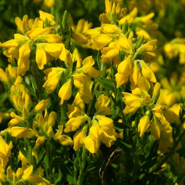 Yellow: mass of broom flowers