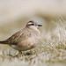 Dotterel by birdtracker