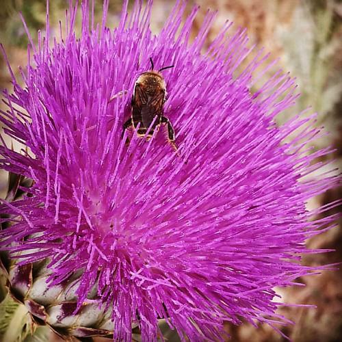 Una #abeja busca polen en la #flor de un pincho