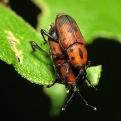 Cocklebur Weevils Mating