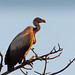 Small photo of White-backed Vulture