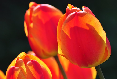Flammable tulips