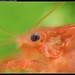 Cambarellus patzcuarensis sp. Orange