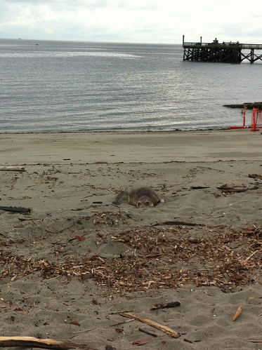 Elephant seal on Ambleside Beach (West Vancouver)
