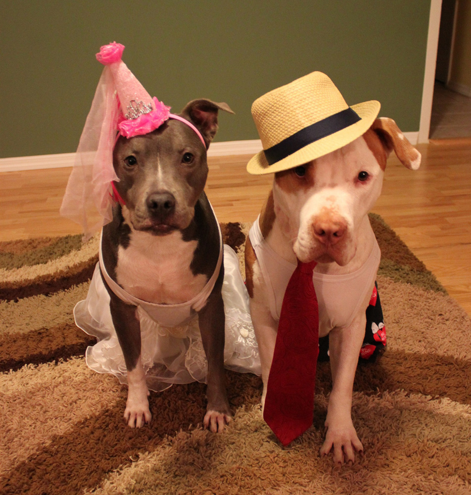 Two Pit Bulls in Costume