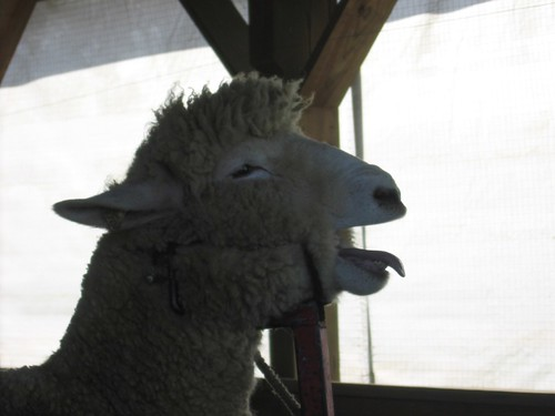 Side view of baa-ing sheep