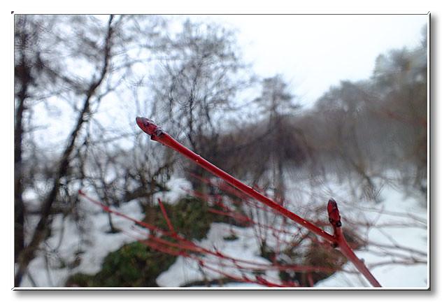 山際に立っていたミズメ.厳しい寒さを乗り越えたその枝は鮮やかな赤紫に染まっていた.