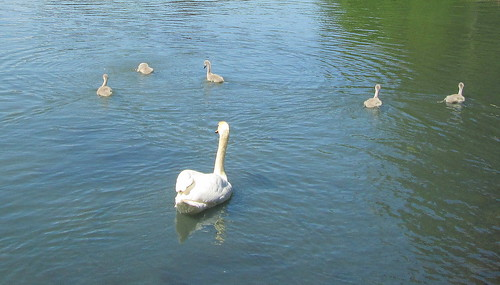 5 cygnets at Beveridge Park