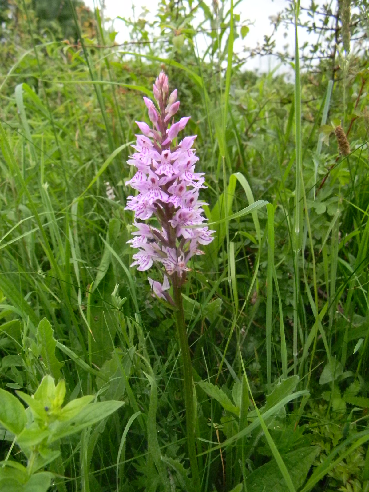 Orchid, Noar Hill Noar Hill NNR boasts 11 species of orchid. This is possibly an Early Purple .Petersfield to Selbourne