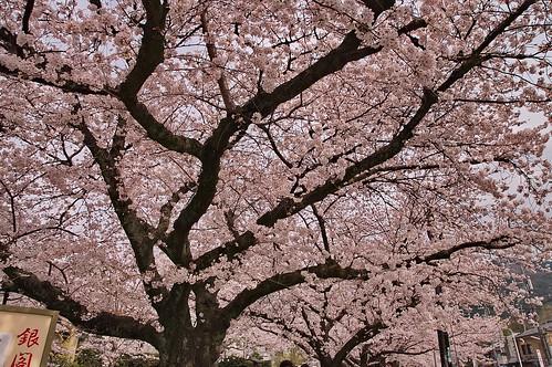 【写真】2013 桜 : 哲学の道/2018-12-24/IMGP9260