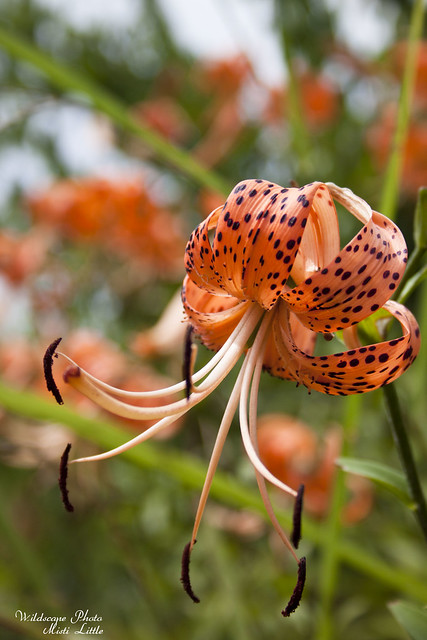 lilies20