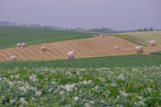 ジャガイモの花と麦稈ロール2