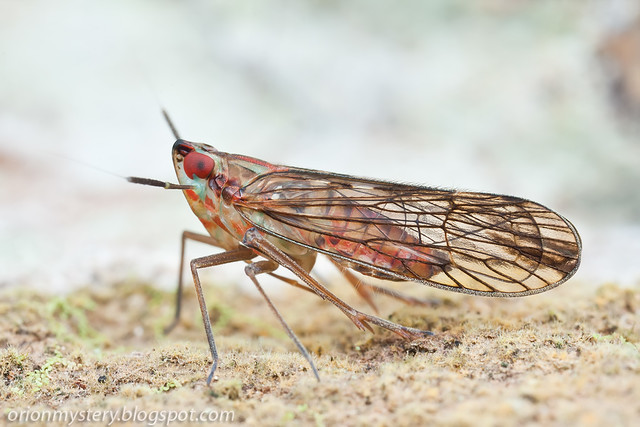 IMG_9683 copy Delphacidae planthopper