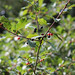 Small photo of Alder Buckthorn