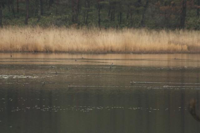 尾崎沼ではコガモやトモエガモが浮かんでいた.