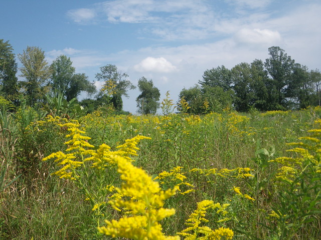 fields of goldenrod